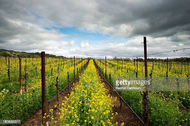 Mustard flowers engulf a vineyard in the Alexander Valley appellation of the Sonoma Wine Country in the Spring near Healdsburg, CA.