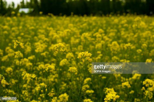 Mustard in full bloom in the outskirts of Srinagar the summer capital of Indian administered Kashmir India According to the mustard growers due to...