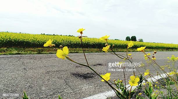 Mustard Plants Blooming In Spring At Roadside
