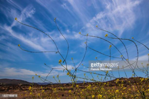 mustard plants - thousand oaks stock pictures, royalty-free photos & images