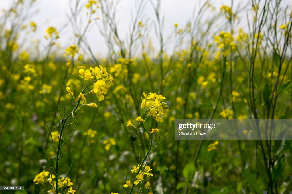 Mustard seed field pictures getty images a mustard seed field with blooming yellow flowers next to a village near birgunj mightylinksfo