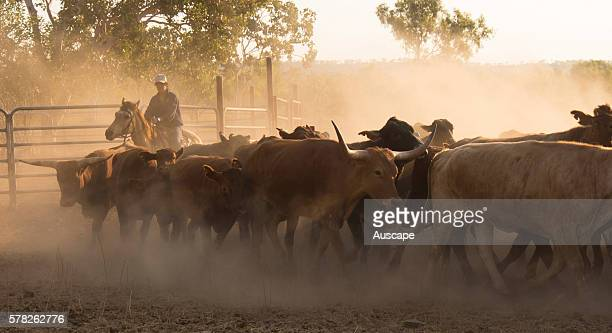 Mustering beef cattle Bos Taurus Kununurra Kimberley region Western Australia Australia