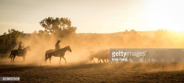 mustering, kimberley, western australia - manada - fotografias e filmes do acervo