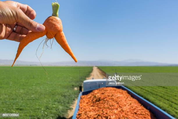 Mutant carrot in field