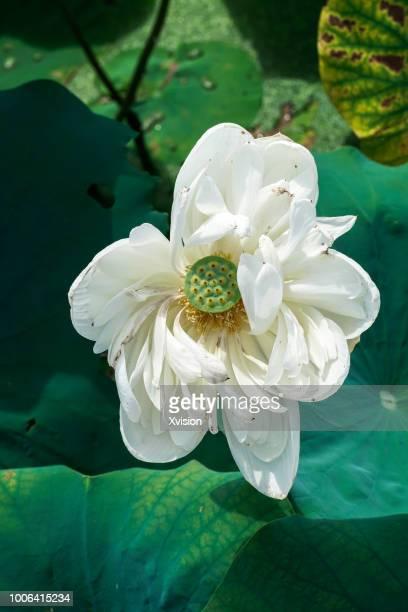 mutated lotus flower new species blooming