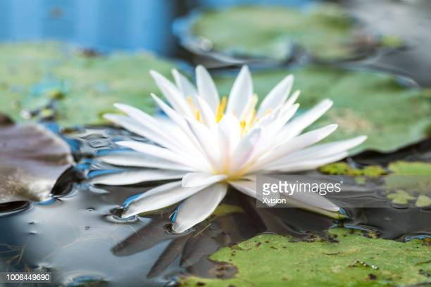 mutated lotus flower new species blooming