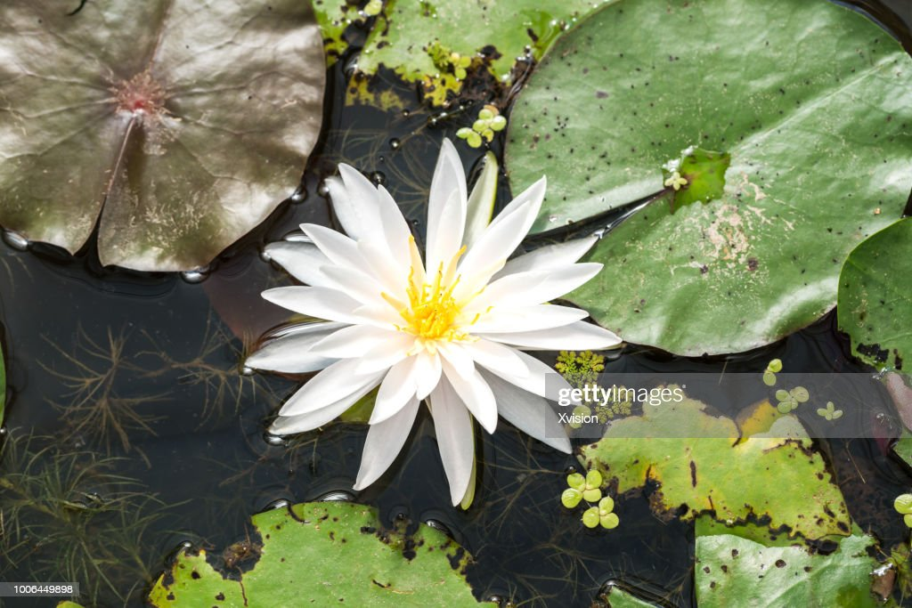 mutated lotus flower new species blooming : Stock Photo