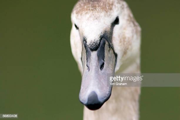 Mute cygnet in the River Windrush Burford UK Feral birds may be at risk from Avian Flu bird flu virus