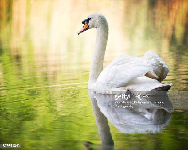 mute swan against beautiful background at elizabeth morton wildlife preserve - swan stock pictures, royalty-free photos & images