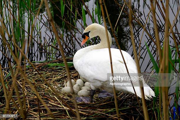 mute swan and eggs on nest. - dierennest stockfoto's en -beelden