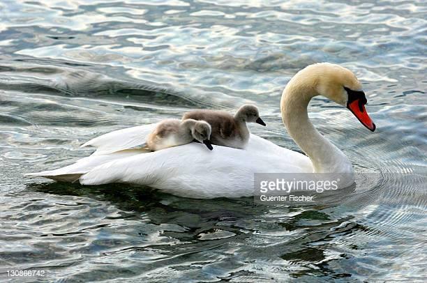 Mute Swan and fledglings, cygnets on its back (Cygnus olor)