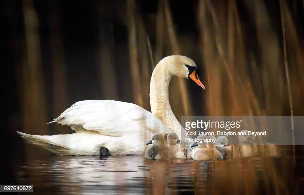 Mute Swan and Her Cygnets Heading Back to the Nest