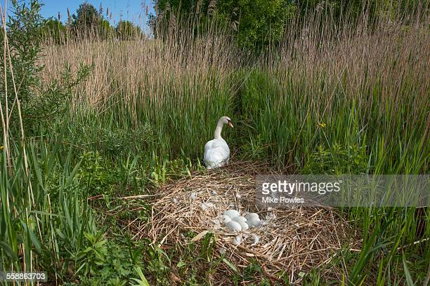 mute swan at the nest - bird's nest stock pictures, royalty-free photos & images
