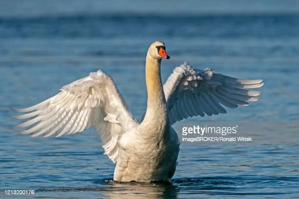 mute swan (cygnus olor) bathes, with plumage care, germany - 翼を広げる ストックフォトと画像