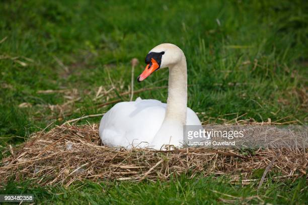 mute swan (cygnus olor) brooding on nest, schleswig-holstein, germany - schleswig holstein stock pictures, royalty-free photos & images