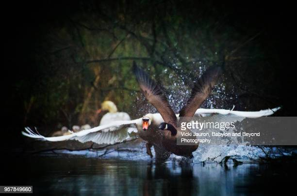 Mute Swan Chases Goose at Massapequa Preserve