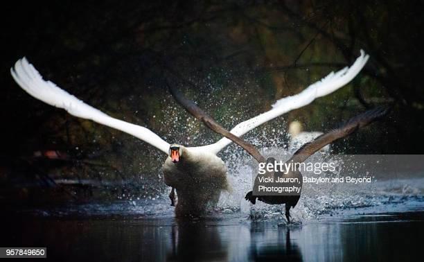 Mute Swan Chasing a Canada Goose at Massapequa Preserve