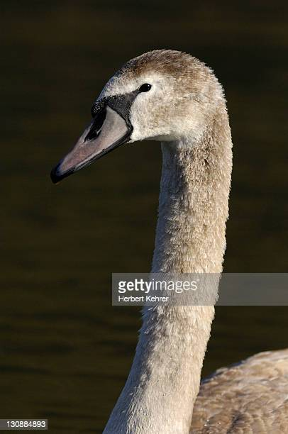 mute swan (cygnus olor), cygnet - vista lateral stock pictures, royalty-free photos & images