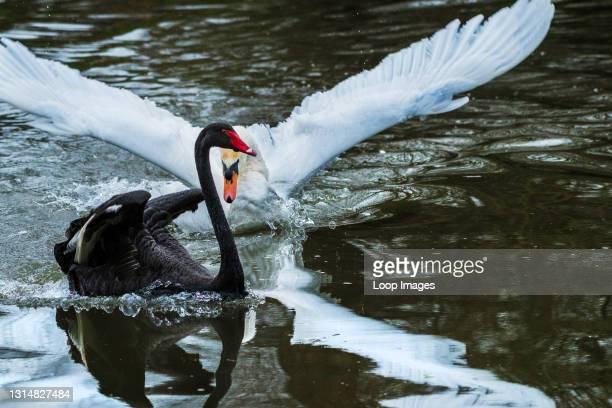 Mute Swan Cygnus olor attacking a Black Swan Cygnus atratus on a lake in Newquay in Cornwall.