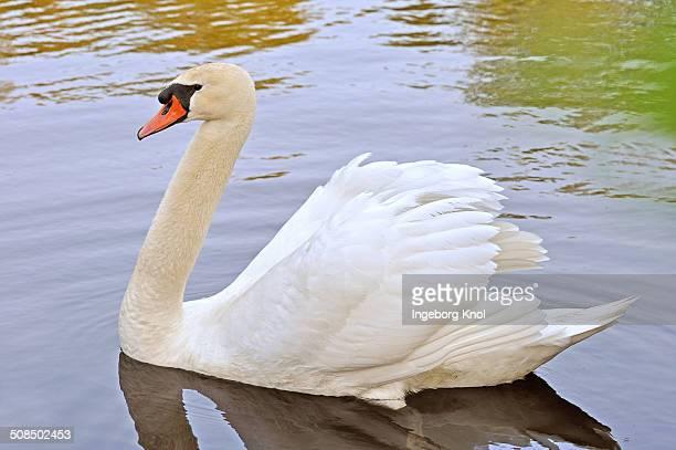 Mute Swan -Cygnus olor-, cob