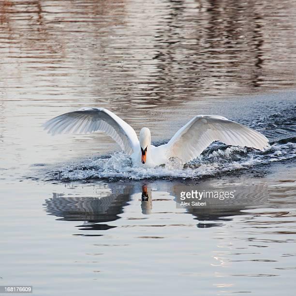 a mute swan, cygnus olor, landing in a pond in winter. - alex saberi 個照片及圖片檔