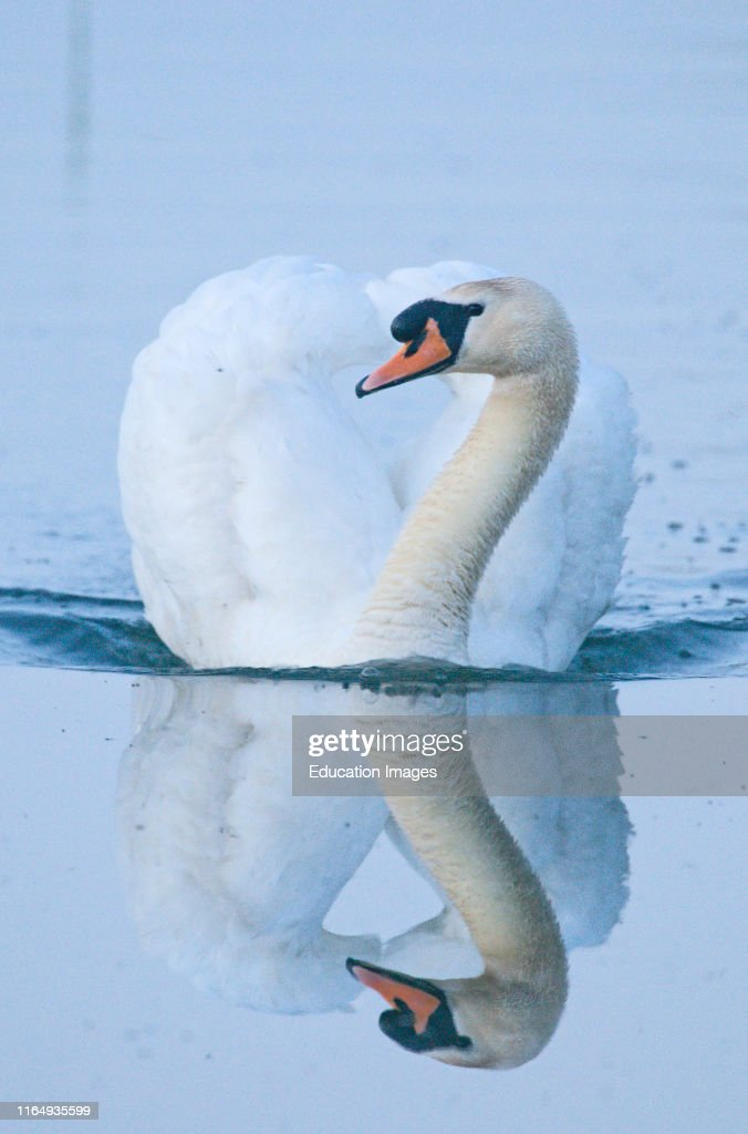 Mute Swan Cygnus Olor Male Cob Cley Norfolk April News Photo Getty Images Swans are grouped with the closely related geese in the subfamily anserinae. 2
