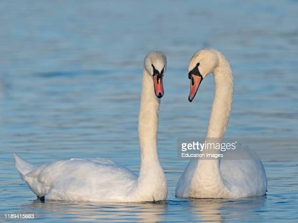 Mute Swan Cygnus olor pair in spring courtship Norfolk UK