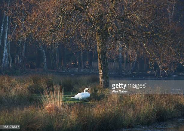 a mute swan, cygnus olor, standing at water's edge in winter. - alex saberi photos et images de collection