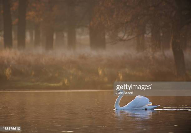 a mute swan, cygnus olor, swimming in a pond in winter. - alex saberi photos et images de collection