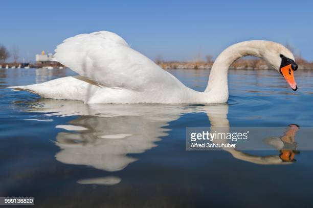mute swan (cygnus olor), danube river, tulln, lower austria, austria - vista lateral stock pictures, royalty-free photos & images