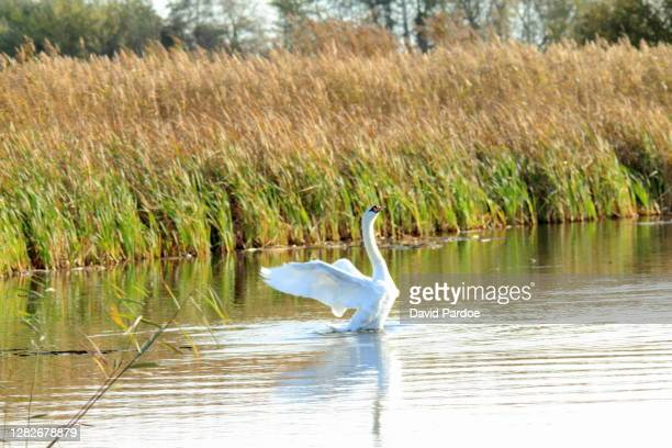 mute swan displaying territorial behaviour at newport wetlands - newport wales stock pictures, royalty-free photos & images