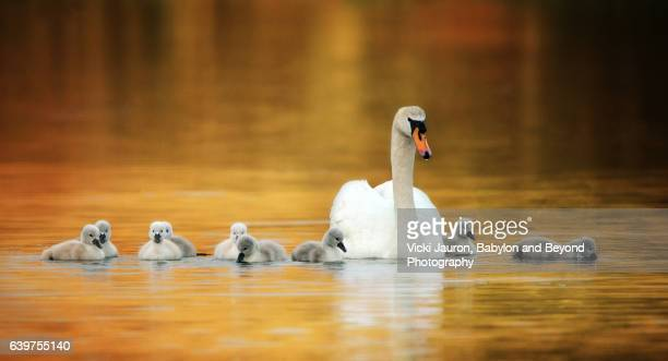 Mute Swan Family Line Up for Portrait in Golden Water at Massapequa Preserve