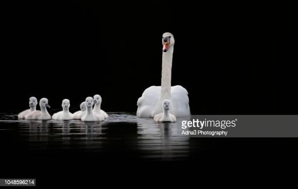 mute swan family - contraste alto fotografías e imágenes de stock