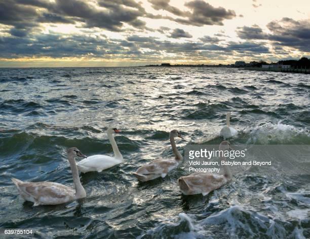 Mute Swan (Cygnus Olor) Family Swim in Stormy Waters in Babylon Village