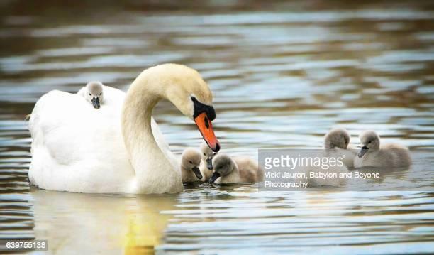 Mute Swan Family Swim with Newborn Cygnets and One Rider
