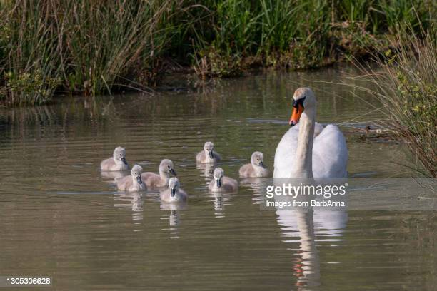 mute swan family swimming along the river - medium group of animals stock pictures, royalty-free photos & images