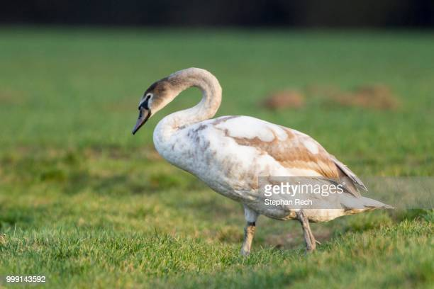 mute swan (cygnus olor), fuldabrueck, hesse, germany - vista lateral stock pictures, royalty-free photos & images