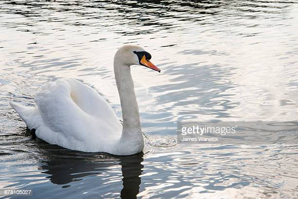 mute swan in lake - swan stock pictures, royalty-free photos & images