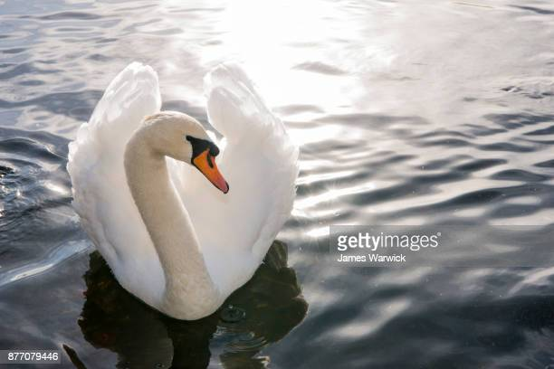mute swan in lake - freshwater bird stock photos and pictures