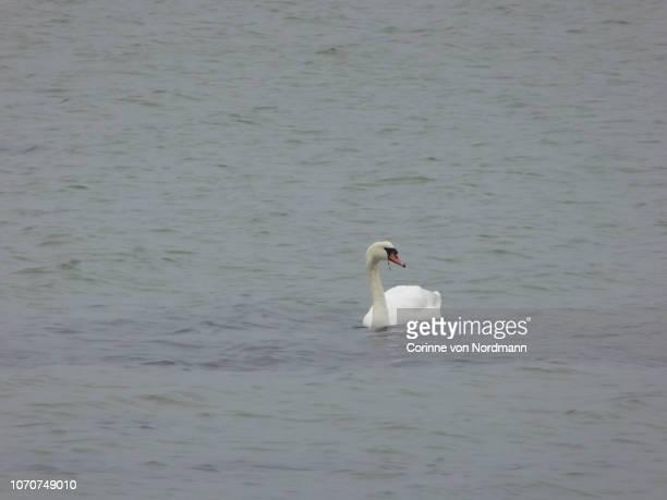mute swan in the baltic sea - cygnus olor - corinne paradis photos et images de collection