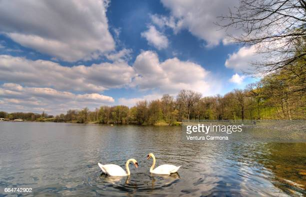 mute swan (cygnus olor) in the lake wolfssee in duisburg, germany - beschaulichkeit stock pictures, royalty-free photos & images