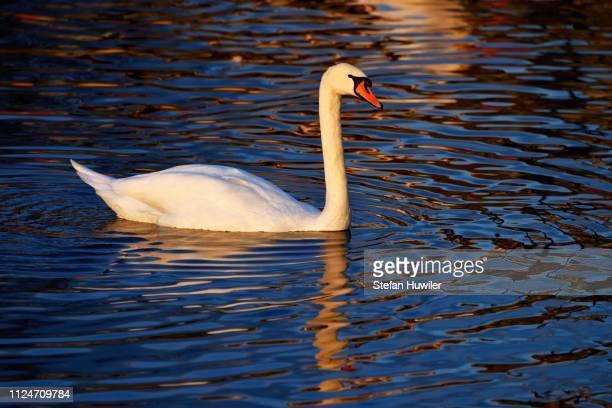 Mute Swan (Cygnus olor), Lake Zug, Canton of Zug, Switzerland