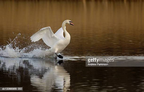 Mute Swan landing on water