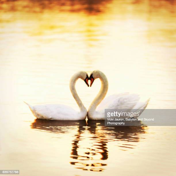 Mute Swan Loving Heart in Golden Light