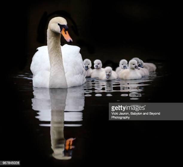 Mute Swan Mother and Cygnets Against Black