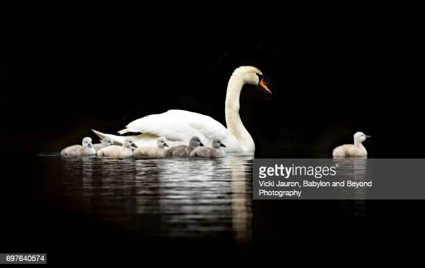Mute Swan Mother and Cygnets Against Dark Background