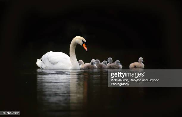 mute swan mother and her cygnets against black background - animal family stock pictures, royalty-free photos & images