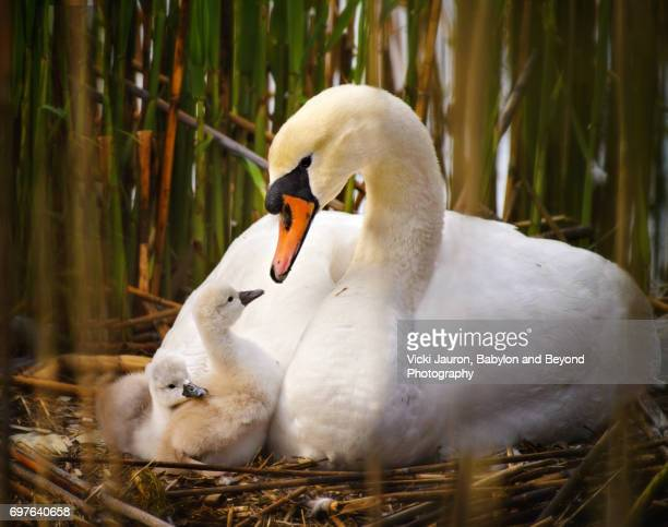 Mute Swan Mother and Her Newly Born Cygnet on Long Island