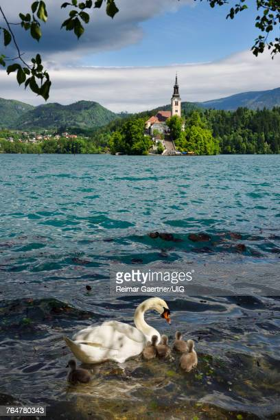 Mute swan mother with young, Lake Bled, with pilgrimage church of the Assumption of Mary, Slovenia