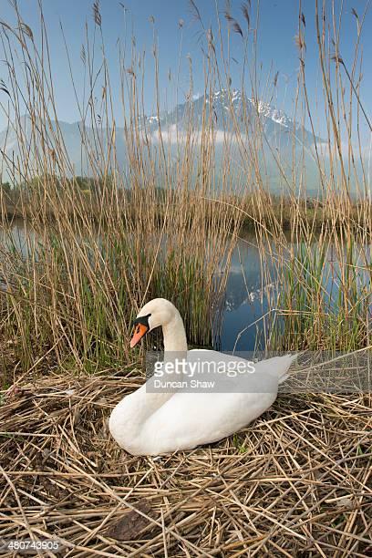 Mute Swan nesting by Lake Geneva